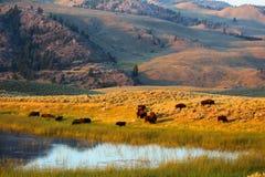 Yellowstone parka narodowego Amerykański żubr obraz stock