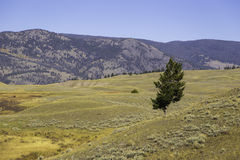 Yellowstone Plains and Tree Royalty Free Stock Photo