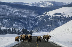 Yellowstone road block. Buffalo (bison) stand on the road forming a road block, during winter in Yellowstone national park, Montana, Wyoming Royalty Free Stock Photo