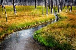 Yellowstone Small Stream Creek Dead Pine Trees Green Grass Royalty Free Stock Photos