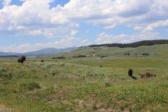 Yellowstone żubr Zdjęcia Royalty Free