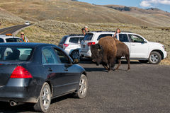 YELLOWSTONE, USA - AUGUST , 18 2012 - Buffalo Bison near tourist cars in Lamar Valley Yellowstone crossing road Royalty Free Stock Photo