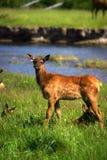 Yellowstone van elanden fawn Royalty-vrije Stock Fotografie