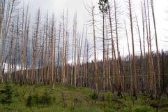 Yellowstone, verliep bomen royalty-vrije stock foto's