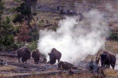 Yellowstone-wild lebende Tiere, Bison im Strom lüften Stockfotografie