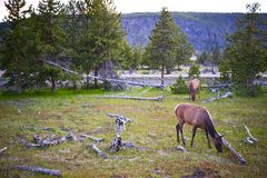 Yellowstone Wildlife Royalty Free Stock Photo