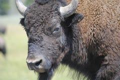 Yellowstonebizon Stock Afbeelding