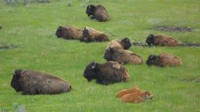 Yellowstonebuffels stock foto
