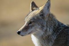 Yellowstonecoyote royalty-vrije stock afbeeldingen