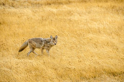 Yellowstonecoyote Royalty-vrije Stock Foto