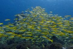 yellowstripe trevally Stock Image