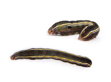 Yellowstriped Armyworm Caterpillar Stock Photo