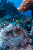 yellowtail θάλασσας anemone clownfish Στοκ φωτογραφία με δικαίωμα ελεύθερης χρήσης
