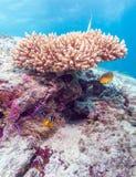 Yellowtail ψάρια κλόουν με τη θάλασσα Anemone Στοκ Φωτογραφίες