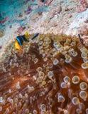 Yellowtail ψάρια κλόουν με τη θάλασσα Anemone Στοκ Φωτογραφία
