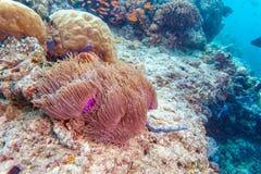 Yellowtail ψάρια κλόουν με τη θάλασσα Anemone Στοκ εικόνες με δικαίωμα ελεύθερης χρήσης