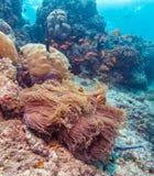 Yellowtail ψάρια κλόουν με τη θάλασσα Anemone Στοκ εικόνα με δικαίωμα ελεύθερης χρήσης