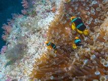 Yellowtail ψάρια κλόουν με τη θάλασσα Anemone Στοκ φωτογραφία με δικαίωμα ελεύθερης χρήσης