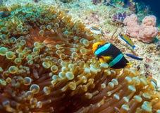 Yellowtail ψάρια κλόουν με τη θάλασσα Anemone Στοκ Εικόνες