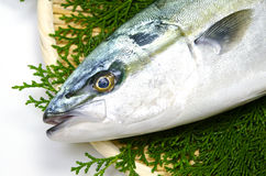 Yellowtail Stock Image