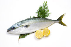 Yellowtail Royalty Free Stock Images