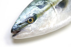Yellowtail Royalty Free Stock Photo