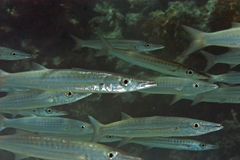 Yellowtail barracuda Stock Photography
