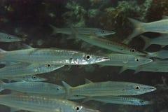 Yellowtail Barracuda Stock Photography