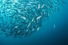 Yellowtail and butterfish baitball in sea of japan Royalty Free Stock Photo