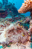 Yellowtail Clown Fish with Sea Anemone Royalty Free Stock Photography