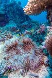 Yellowtail Clown Fish with Sea Anemone Stock Image