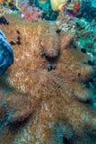 Yellowtail Clown Fish with Sea Anemone Royalty Free Stock Photos