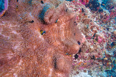 Yellowtail Clown Fish with Sea Anemone Stock Photo