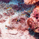 Yellowtail Clown Fish with Sea Anemone Royalty Free Stock Photo