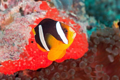 Yellowtail clownfish. On the soft coral Stock Photos
