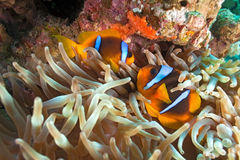 Yellowtail clownfish. On the soft coral Stock Photo