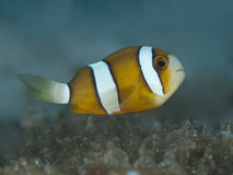 Yellowtail clownfish Stock Image