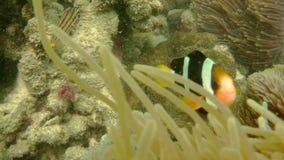 Yellowtail Clownfish Clark`s Anemonefish swimming in the venomous tentacles of sea anemone stock video