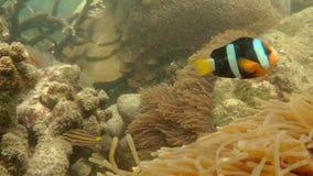 Yellowtail Clownfish Clark`s Anemonefish swimming stock video