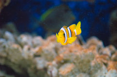 Yellowtail clownfish (clarkii Amphiprion) Στοκ Φωτογραφίες
