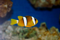 Yellowtail clownfish (clarkii Amphiprion) Στοκ Εικόνες