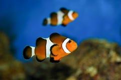 Yellowtail clownfish (clarkii Amphiprion) Στοκ εικόνες με δικαίωμα ελεύθερης χρήσης