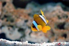 Yellowtail clownfish (clarkii Amphiprion) Στοκ φωτογραφία με δικαίωμα ελεύθερης χρήσης