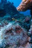 Yellowtail clownfish with sea anemone Royalty Free Stock Photography
