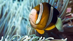 Yellowtail clownfish verbergt in een anemoon stock footage