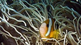 Yellowtail clownfish verbergt in een anemoon stock videobeelden