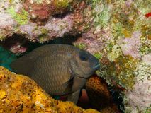 Yellowtail Damselfish Royalty-vrije Stock Foto's
