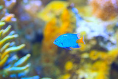 Yellowtail Damselfish Stock Image