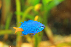 Yellowtail Damselfish Royalty Free Stock Photo