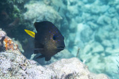 Yellowtail Damselfish Royalty Free Stock Images